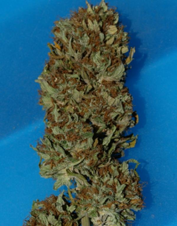 Steve McGarretts Hair Feminised Cannabis Seeds | Superstrains