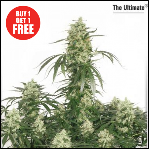 The Ultimate Feminised Cannabis Seeds | Dutch Passion