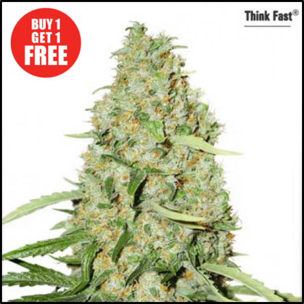 Think Fast Feminised Cannabis Seeds | Dutch Passion