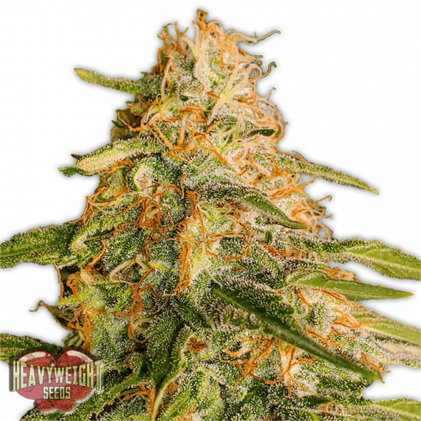 Tropic Punch Feminised Cannabis Seeds | Heavyweight Seeds