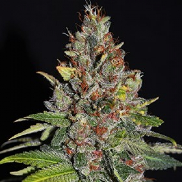 Tropical Punch Feminised Cannabis Seeds | G13 Labs