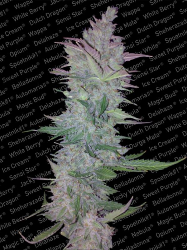 Vertigo Automatic Feminised Cannabis Seeds | Paradise Seeds