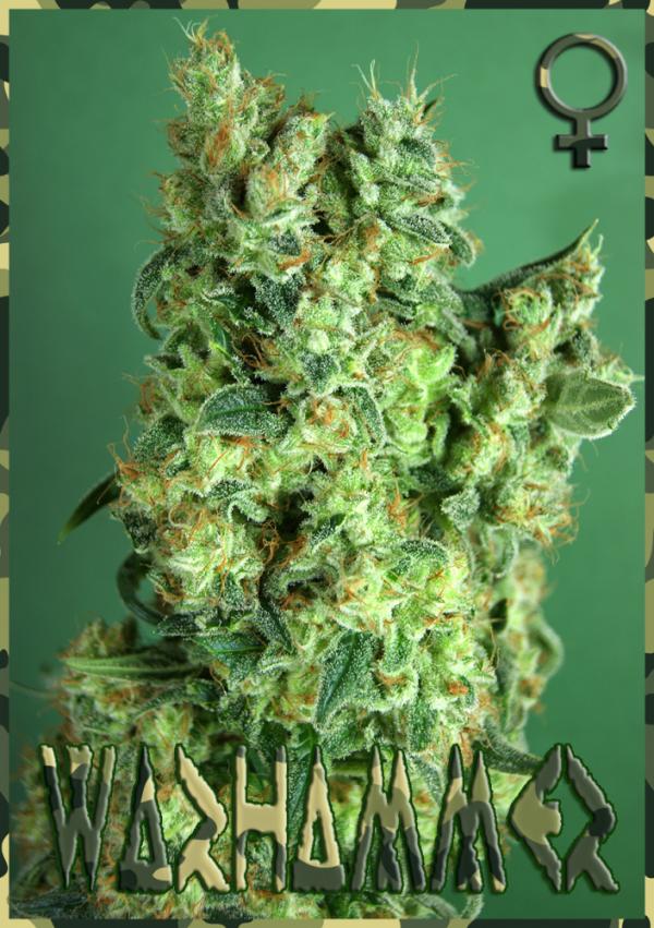 Warhammer Feminised Cannabis Seeds   Rockwell Seeds