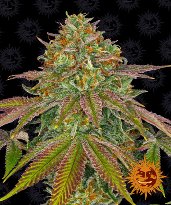 Wedding Cake Feminised Cannabis Seeds | Barney's Farm
