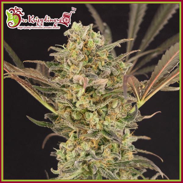 Wedding Flowers Feminised Cannabis Seeds – Dr Krippling