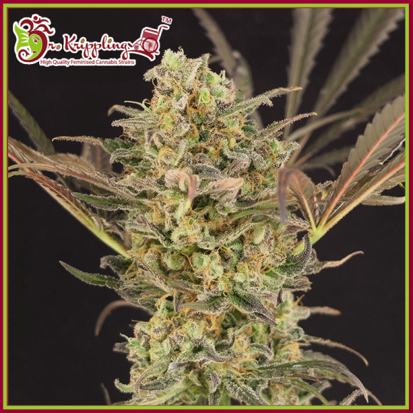 Wedding Flowers Feminised Cannabis Seeds – Dr Krippling