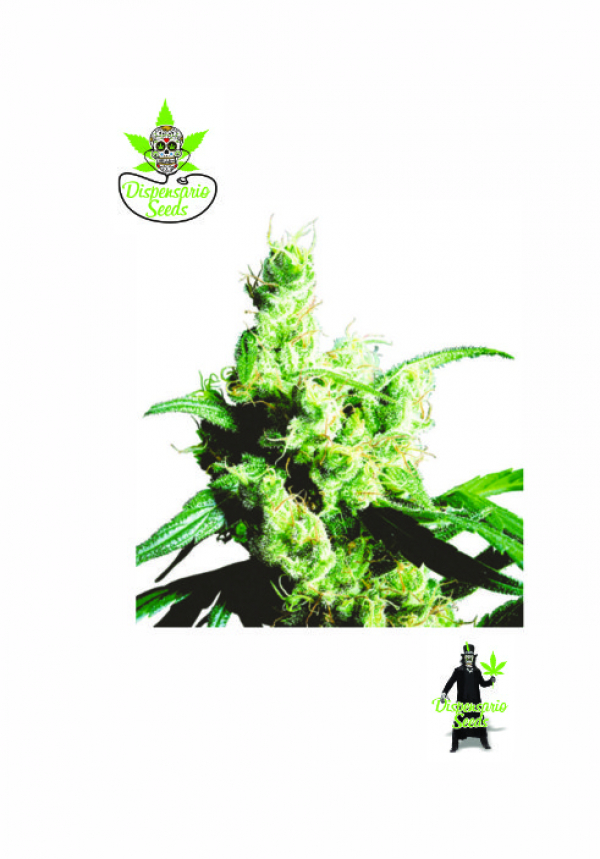 White Snow Feminised Cannabis Seeds | Dispensario Seeds