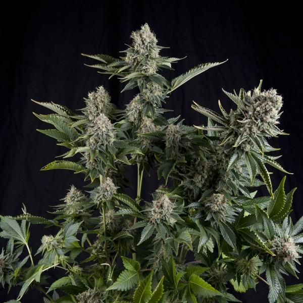 White Widow CBD Feminised Cannabis Seeds | Pyramid Seeds