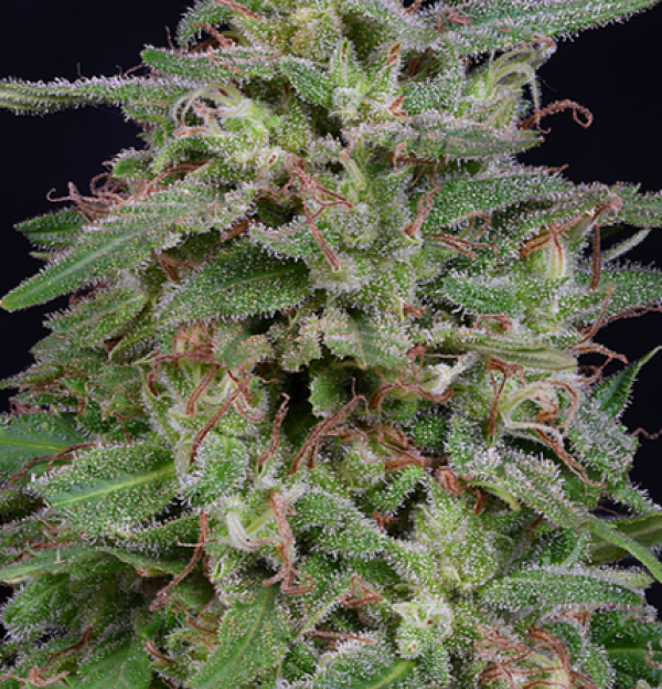 White Widow Feminised Cannabis Seeds | Big Head Seeds