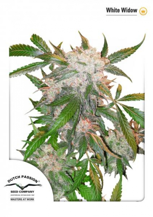 White Widow from Dutch Passion