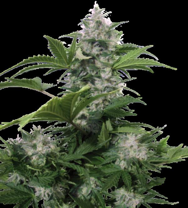 White Dwarf Auto Feminised Cannabis Seeds | Buddha Seeds