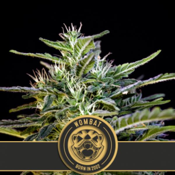 Wombat Feminised Cannabis Seeds | Blim Burn Seeds