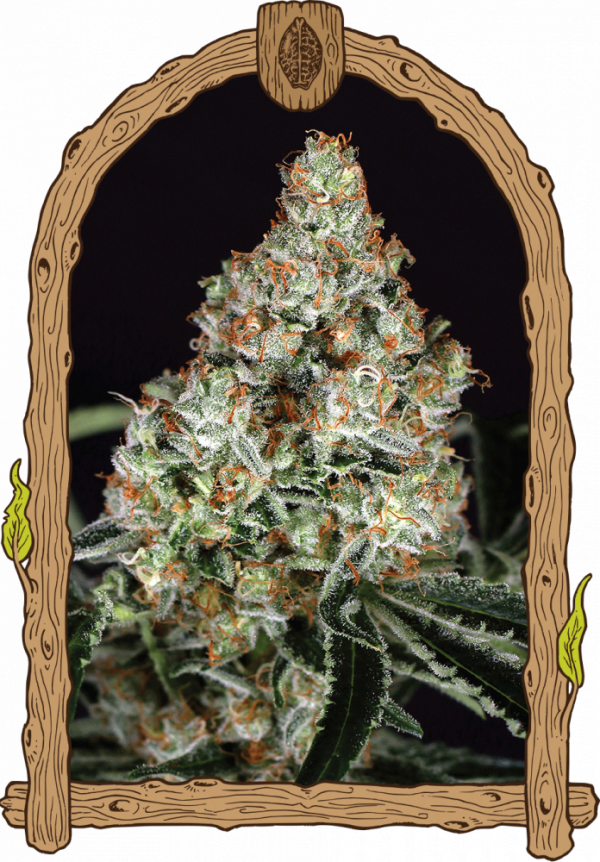 Zkittalicious Feminised Cannabis Seeds | Exotic Seeds