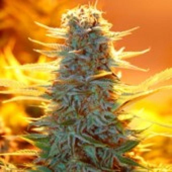 Advanced Seeds Auto Kaya 47 Feminised Cannabis Seeds