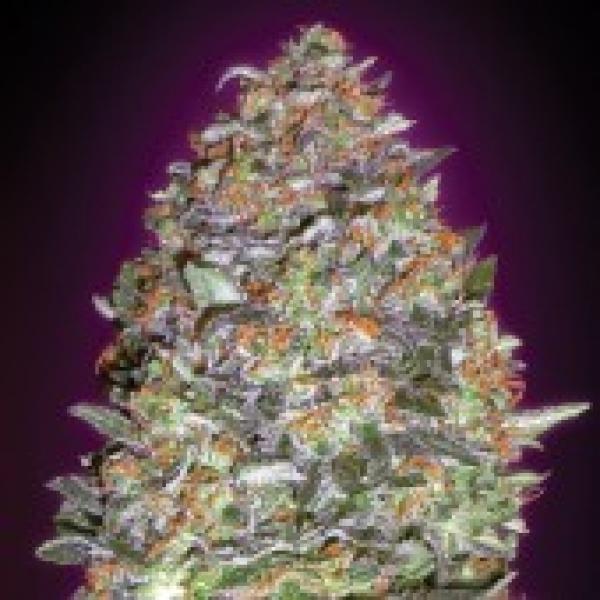 Advanced Seeds Auto NYC Diesel Feminised Cannabis Seeds
