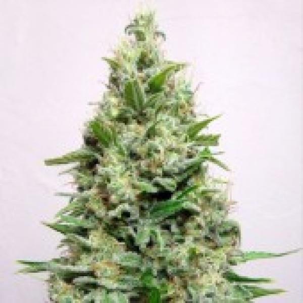 Advanced Seeds Kali 47 Feminised Cannabis Seeds