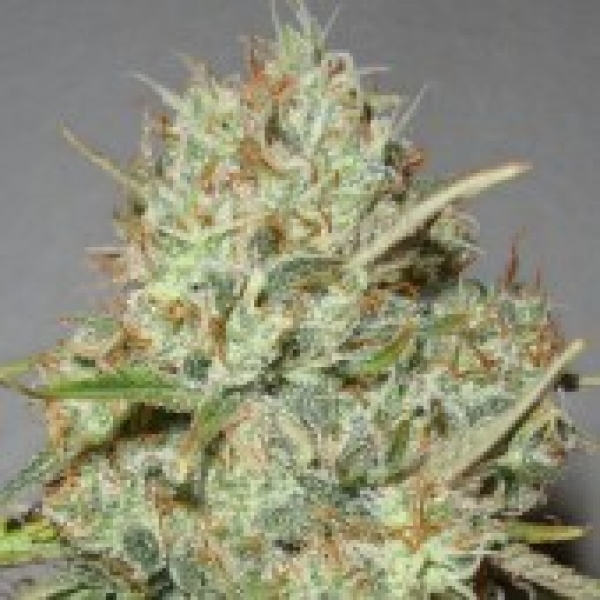 Advanced Seeds Shark Widow Feminised Cannabis Seeds