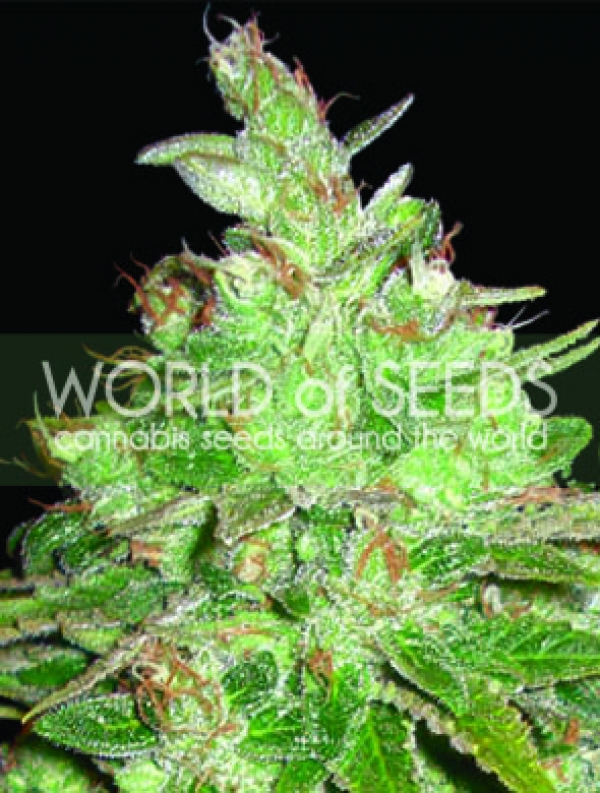 Afghan Kush x Black Domina Feminised Cannabis Seeds | Discount Cannabis Seeds