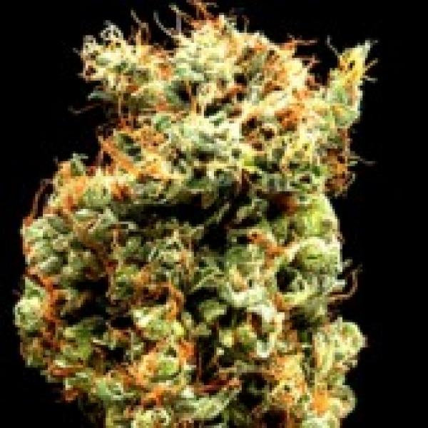 Delta 9 Labs Afghani Mazar 1 Sherif Cannabis Seeds