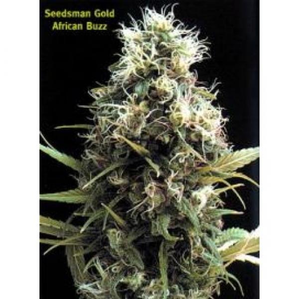 African Buzz Regular Cannabis Seeds   Seedsman