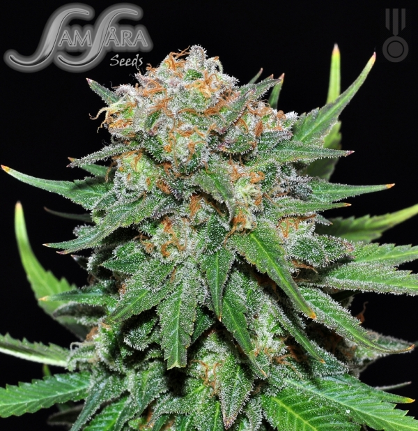 El Alquemista Feminised Cannabis Seeds
