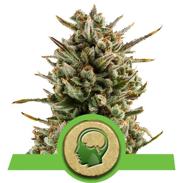 Amnesia Haze Auto Feminised Cannabis Seeds | Royal Queen Seeds