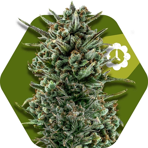 Amnesia Haze XL Auto Feminised Cannabis Seeds | Zambeza Seeds