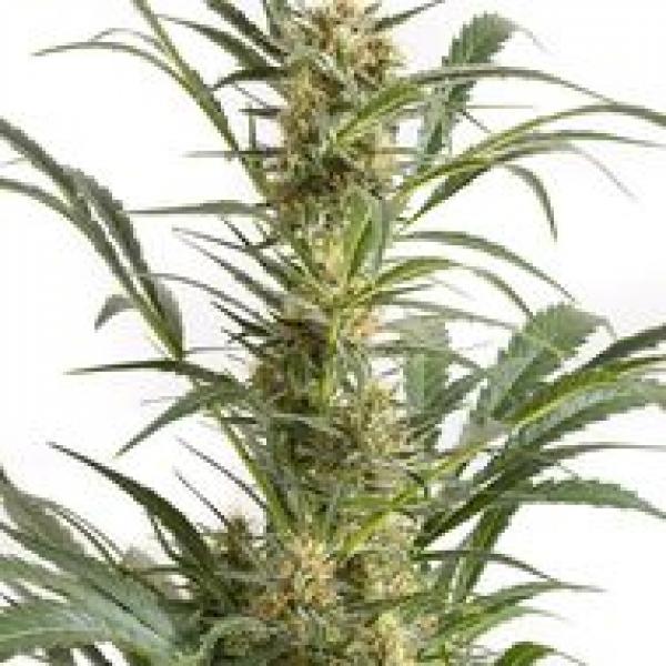 Amnesia XXL Auto Feminised Cannabis Seeds | Dinafem Seeds