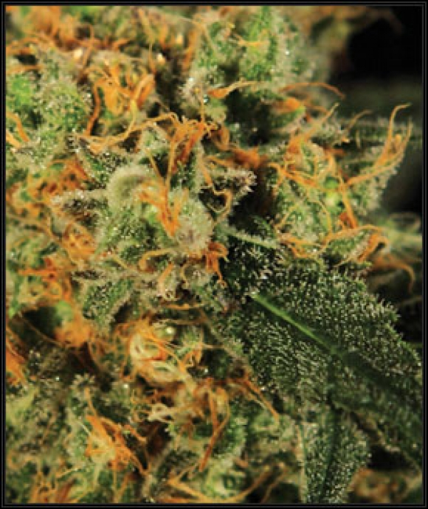 A.M.S. Feminised Cannabis Seeds | Greenhouse Seeds