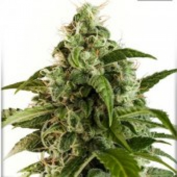 Auto Euforia Auto Feminised Cannabis Seeds | Dutch Passion