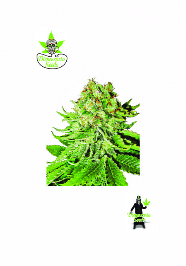 Auto NL Aurora Feminised Cannabis Seeds | Dispensario Seeds