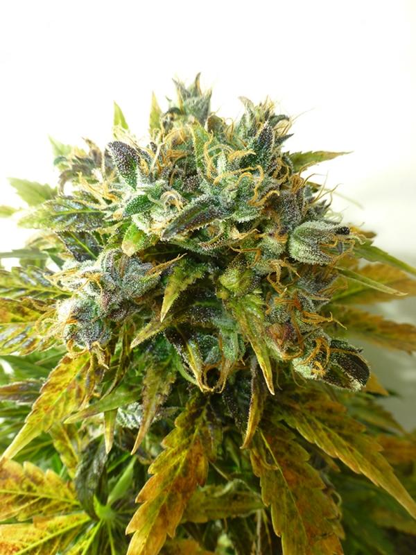 Auto Onyx Feminised Cannabis Seeds   Seedsman