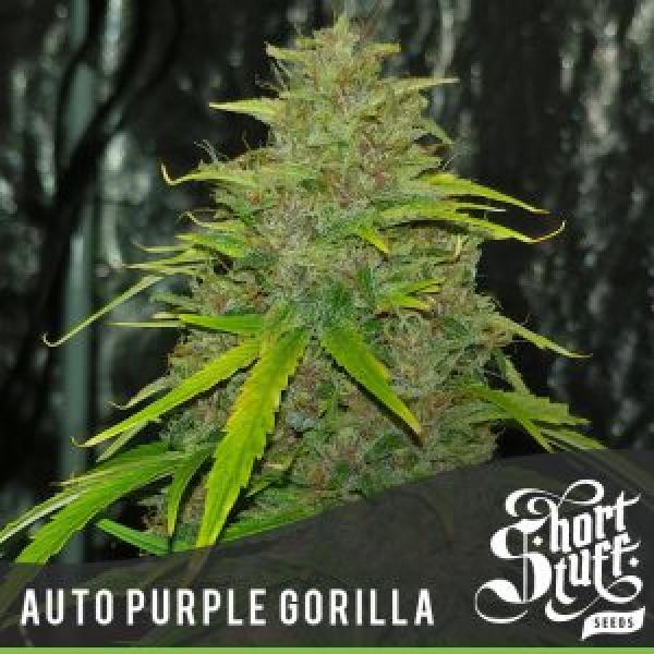 Auto Purple Gorilla Feminised Cannabis Seed   Short Stuff Seeds
