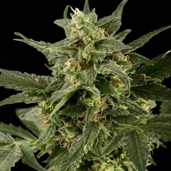 Auto Pineapple Gum Feminised Cannabis Seeds