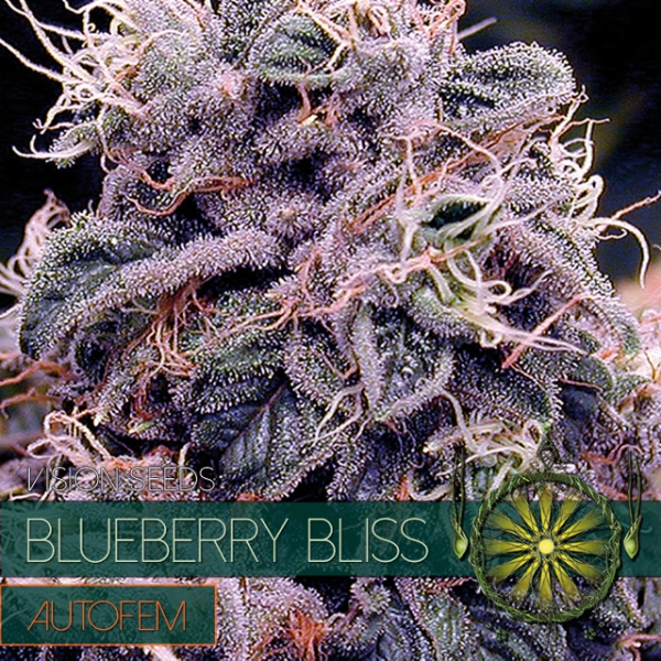 Blueberry Bliss Auto Feminised Cannabis Seeds | Vision Seeds