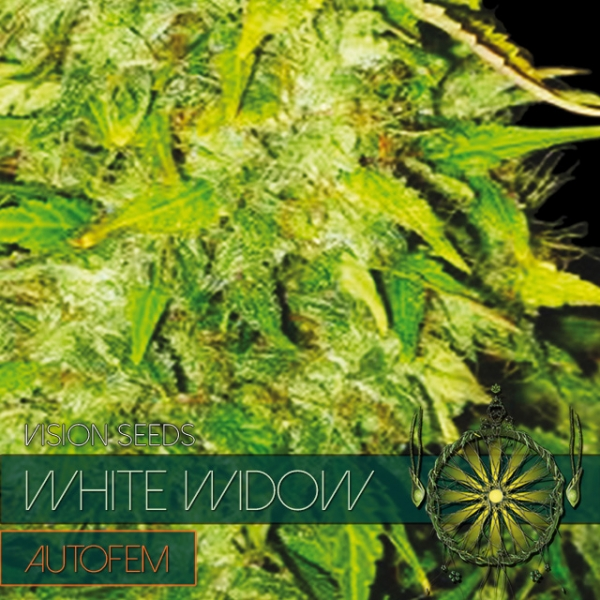 White Widow Auto Feminised Cannabis Seeds | Vision Seeds