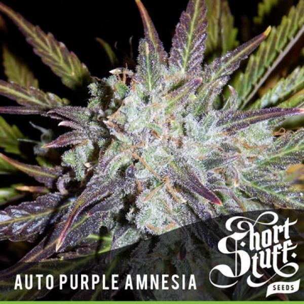 Auto Purple Amnesia Feminised Cannabis Seeds | Shortstuff Seeds
