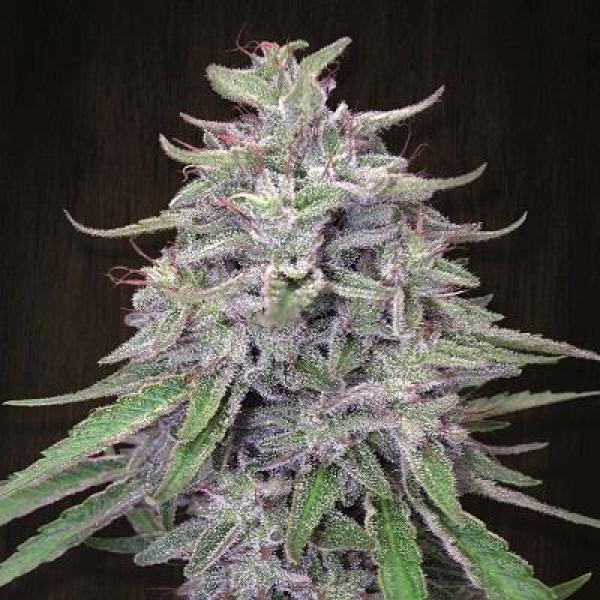 Bangi Haze Feminised Cannabis Seeds   Ace Seeds
