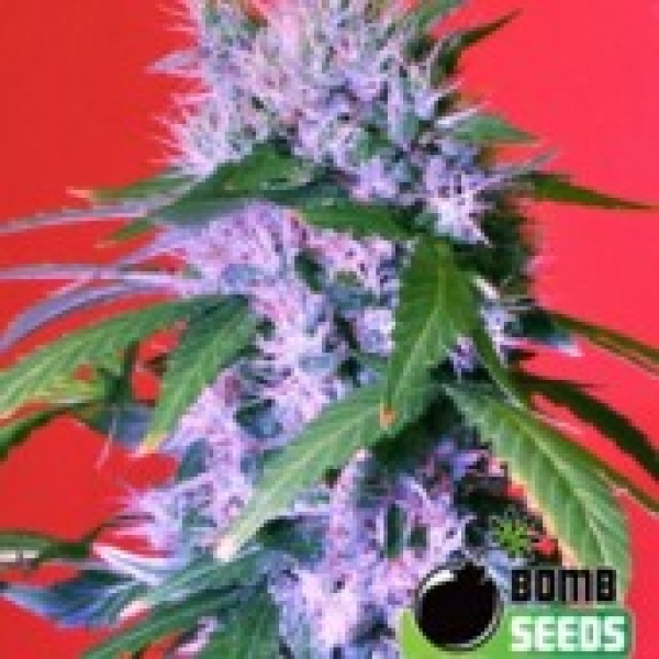 Bomb Seeds Berry Bomb Regular Cannabis Seeds (10 Regular) For Sale