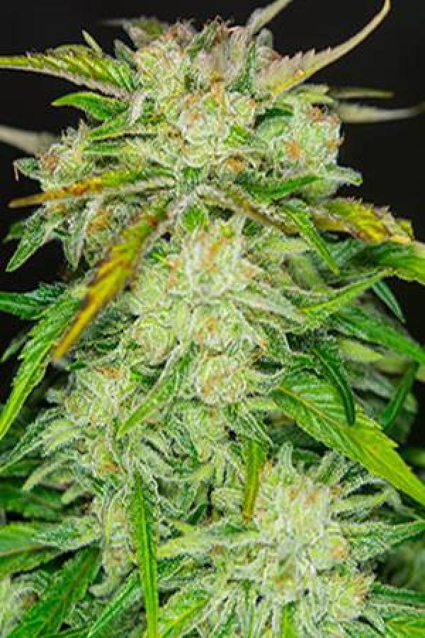 Blow Mind Auto Feminised Cannabis Seeds