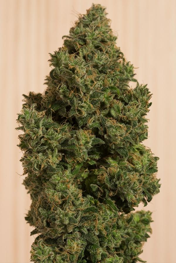 Blue Dream CBD Feminised Cannabis Seeds | Humboldt Seeds Organisation