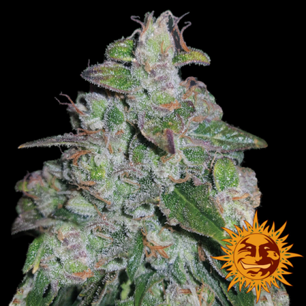 Blueberry OG Feminised Cannabis Seeds | Barney's Farm