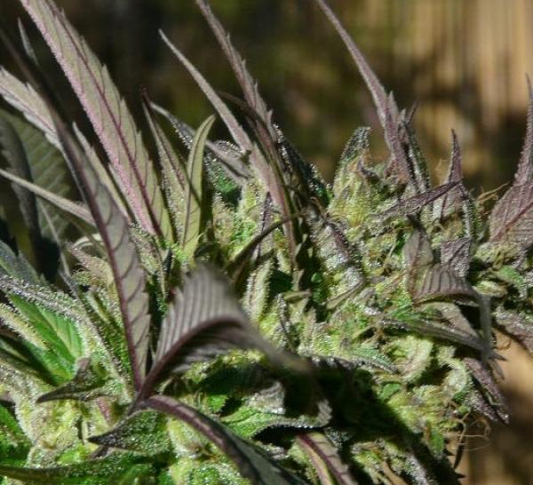 Brainstorm Haze Regular Cannabis Seeds | Delta 9 Labs