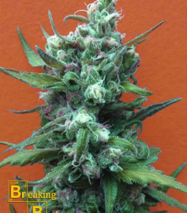 Big Whoop Auto Feminised Cannabis Seeds | Breaking Buds Seeds