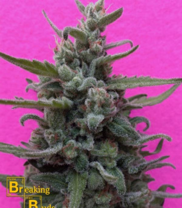 Brownie Auto Feminised Cannabis Seeds   Breaking Buds Seeds