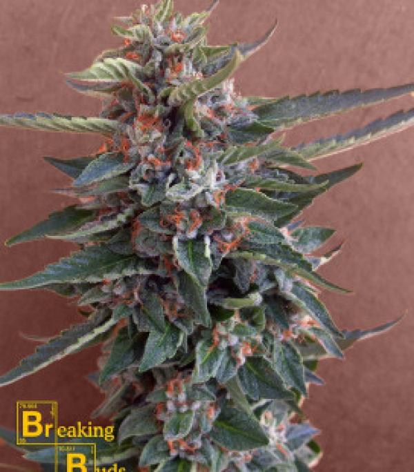 Chocolate Cookies Feminised Cannabis Seeds | Breaking Buds Seeds