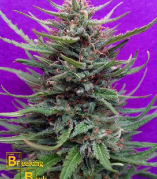 Cream Crystal Meth Feminised Cannabis Seeds   Breaking Buds Seeds