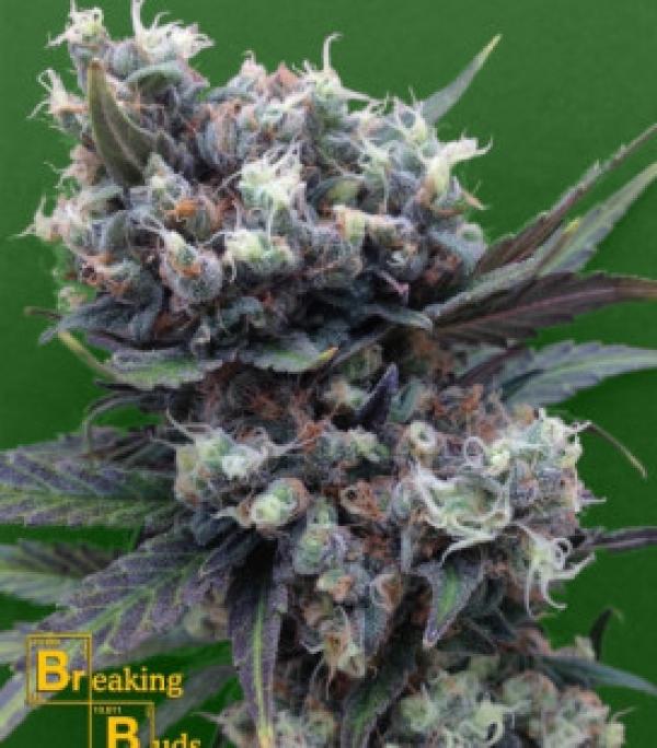 Malverde Feminised Cannabis Seeds | Breaking Buds Seeds