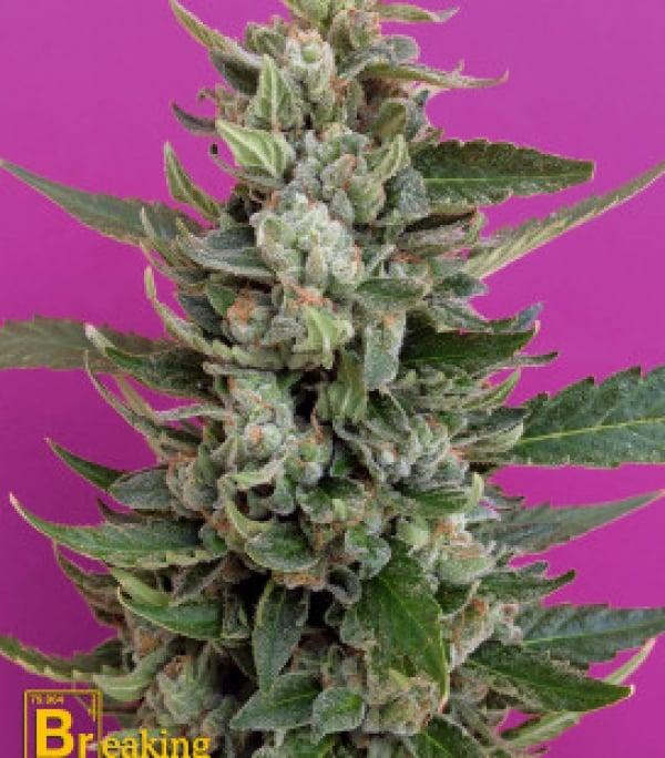 Strawberry Cream Feminised Cannabis Seeds | Breaking Buds Seeds