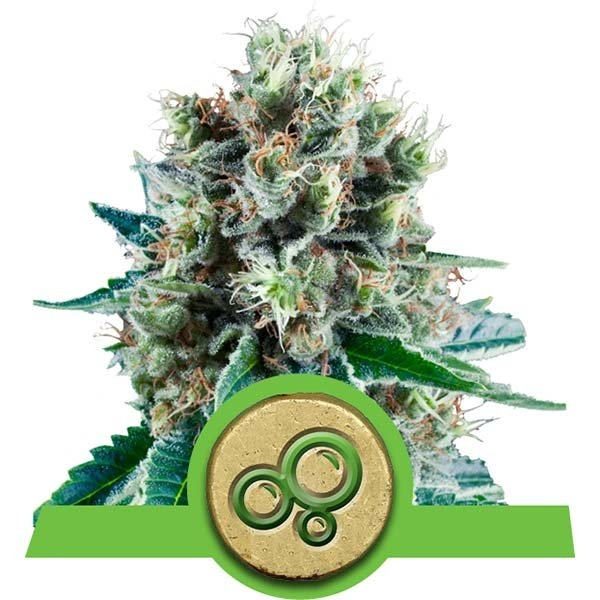 Bubble Kush Auto Feminised Cannabis Seeds   Royal Queen Seeds